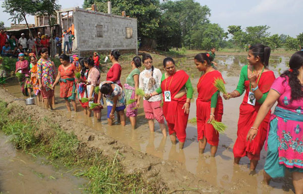 Farmers getting ready to plant rice in a paddy field on the occasion of National Paddy Day in Chitwan on Monday, June 30, 2015.nPhoto: Tilak Rimalnt