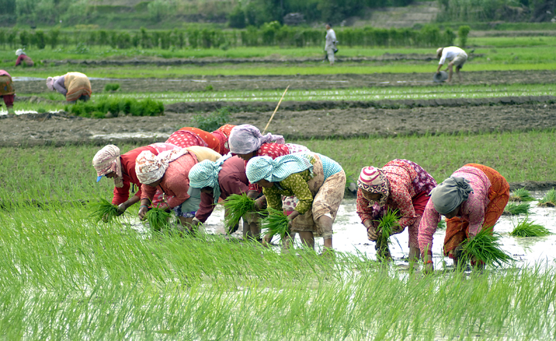 Farmers planting paddy in a field on the eve of National Paddy Day, in Bungmati, Lalitpur, on Monday. Since 2005, National Paddy Day is observed on Asar 15, which officially marks the beginning of the paddy plantation season in the country.nPhoto: Naresh Shrestha/THT