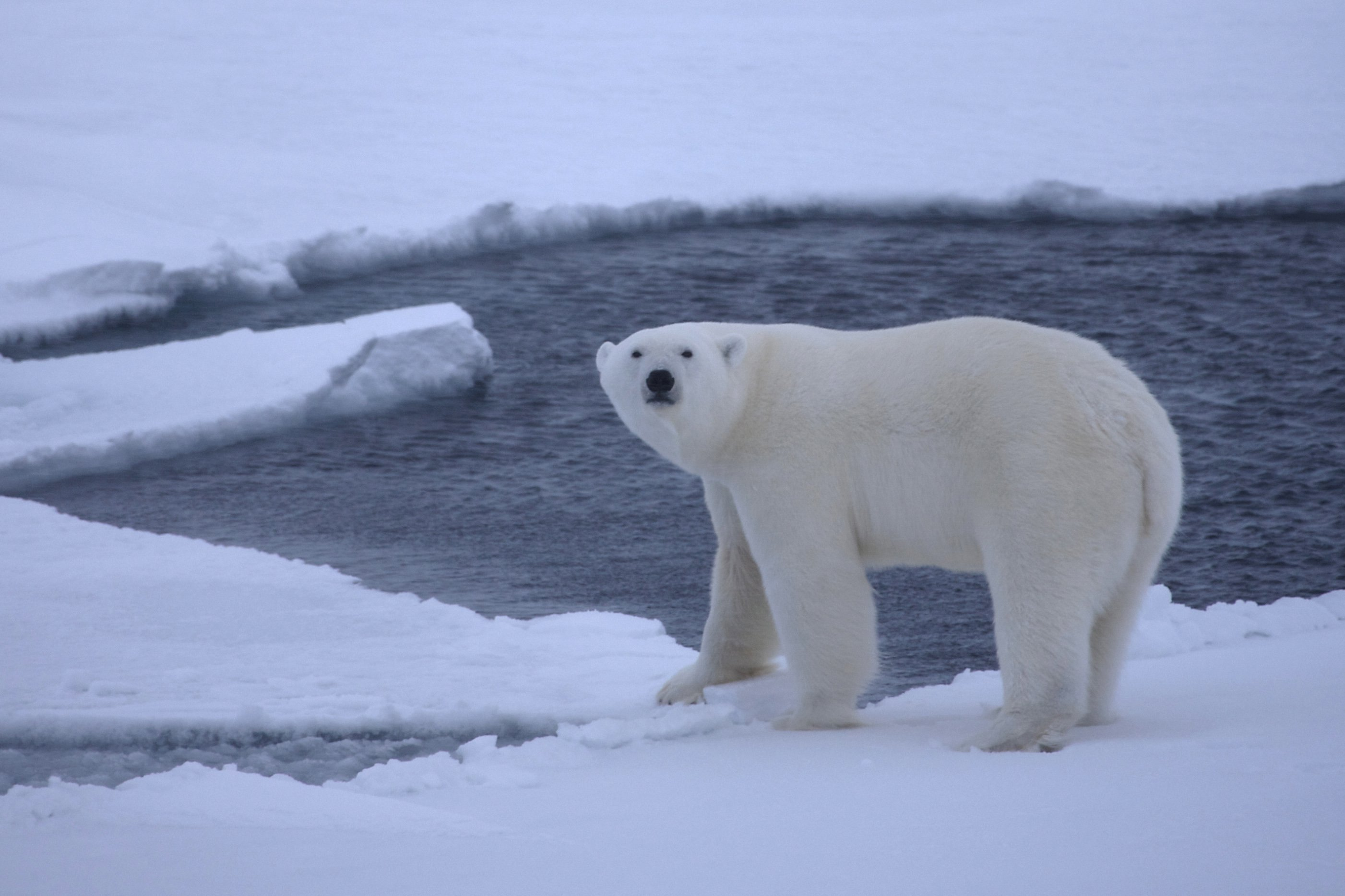 A young polar bear on pack ice over deep waters in the Arctic Ocean, is shown in this October 2009 handout photo provided by the University of Wyoming. Photo: University of Wyoming/Handout via Reuters
