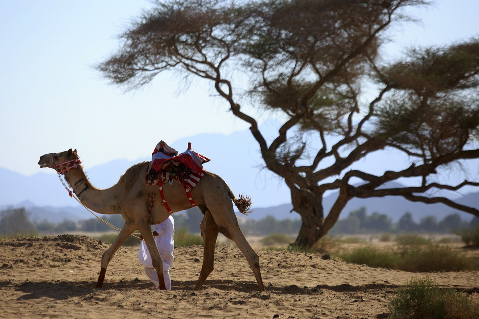 A Saudi man leads a camel ahead of an annual race in celebration of Eid al-Fitr which marks the end of the Muslim holy fasting month of Ramadan, in the town of Abu Ajaj northwest of the Saudi capital Riyadh in the Tabuk region, on July 18, 2015. Photo: AFP
