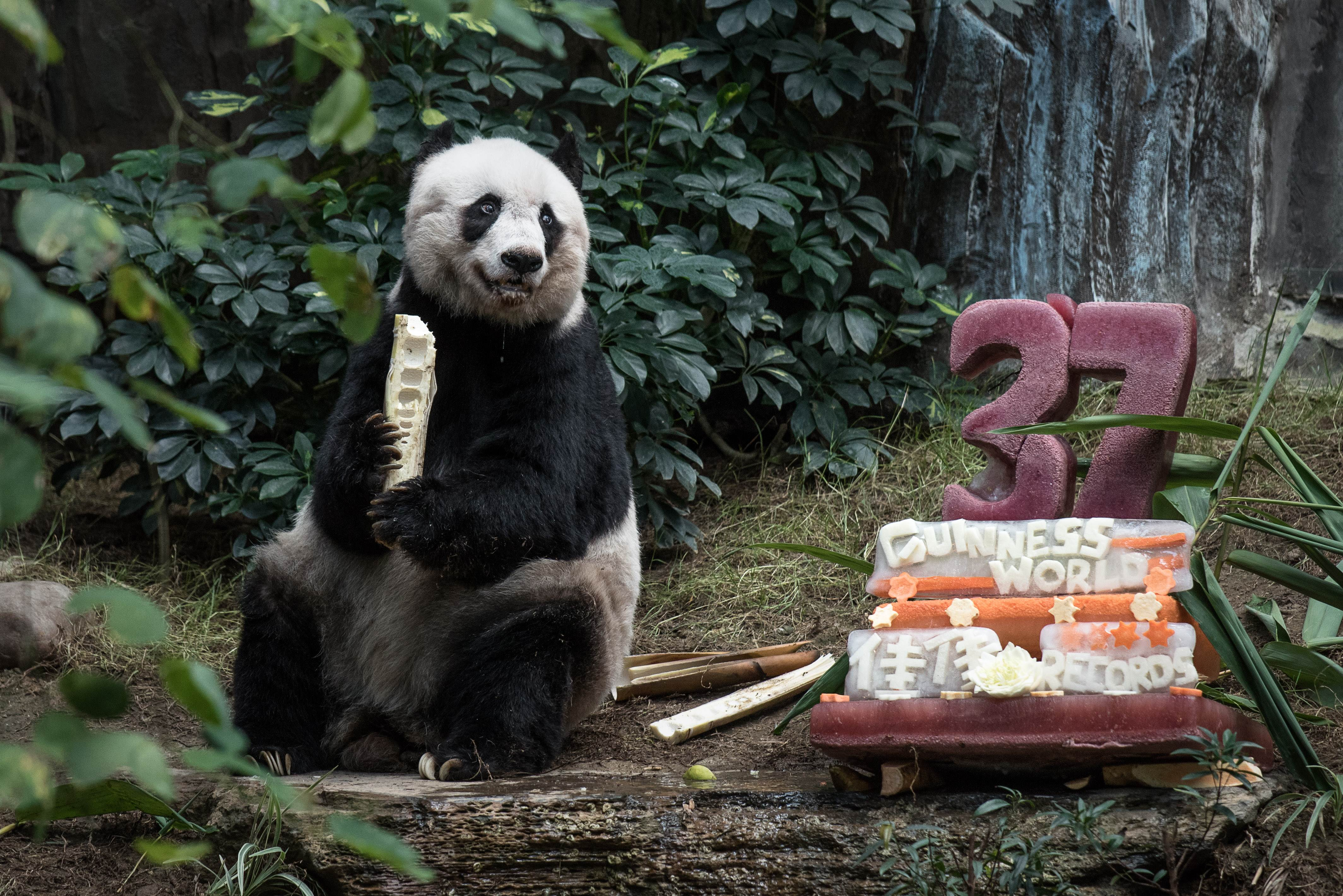 Giant panda Jia Jia eats a bamboo stick next to her cake made of ice and fruit juice to mark her 37th birthday at an amusement park in Hong Kong on July 28, 2015.  It may not be considered a landmark birthday for humans but turning 37 made Jia Jia the oldest ever giant panda in captivity ageing the equivalent of more than 100-years-old in human terms. Photo: AFP