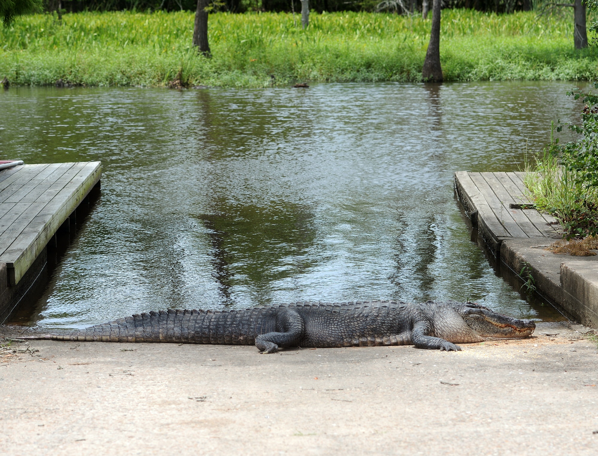 An alligator corpse lies next to the water at Burkart's Marina, Monday, July 6, 2015, in Orange, Texas. Officials are conducting an investigation into who may have killed the animal. Tommie Woodward died after an alligator attacked him during a late-night swim at the private Southeast Texas marina on July 3. (Jake Daniels/The Beaumont Enterprise via AP) MANDATORY CREDIT