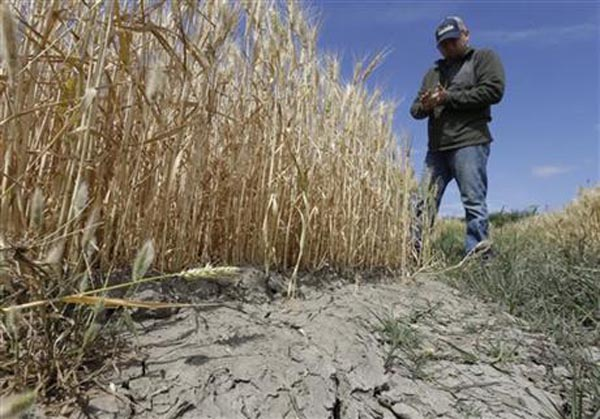 In this May 18, 2015 file photo, Gino Celli, who relies on senior water rights to water his crops, inspects a wheat field nearing harvest on his farm near Stockton, Calif. California issued its first cease-and-desist order on Thursday, July 16, telling an irrigation district to stop pumping water under this year's tightened drought regulations. Some senior water rights holders are challenging California regulators authority to tell them to stop drawing water from rivers running dry due to the drought.  Photo: AP