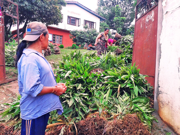Farmers preparing to carry cardamom saplings distributed by the District Agriculture Development Office in Panchthar on Thursday, July 16, 2015. Photo: Niroj Koirala
