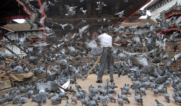 A man feeding pigeons in Hanumandhoka, Kathmandu, on Thursday. Photo: THT