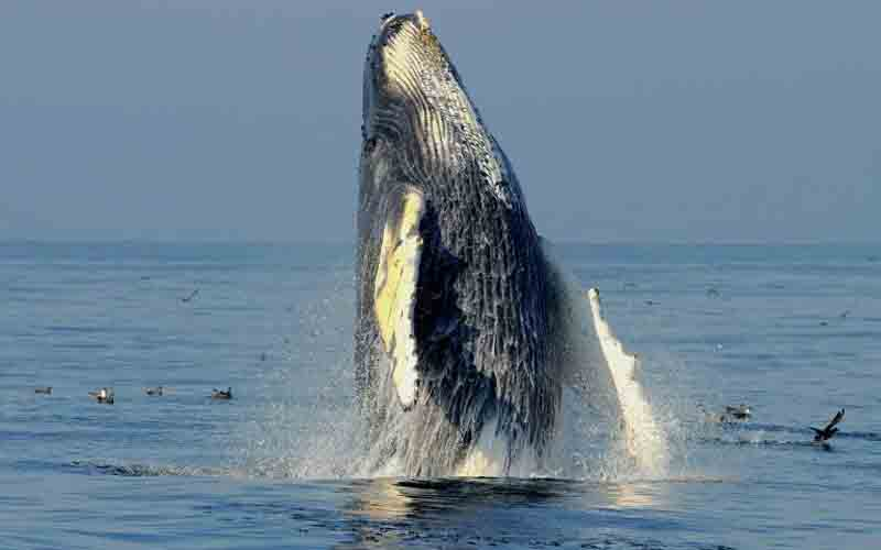 Humpback whales were commercially harvested around the Australian coast between 1912 and 1972, with tens of thousands of the animals killed, decimating the species. Photo: AFP