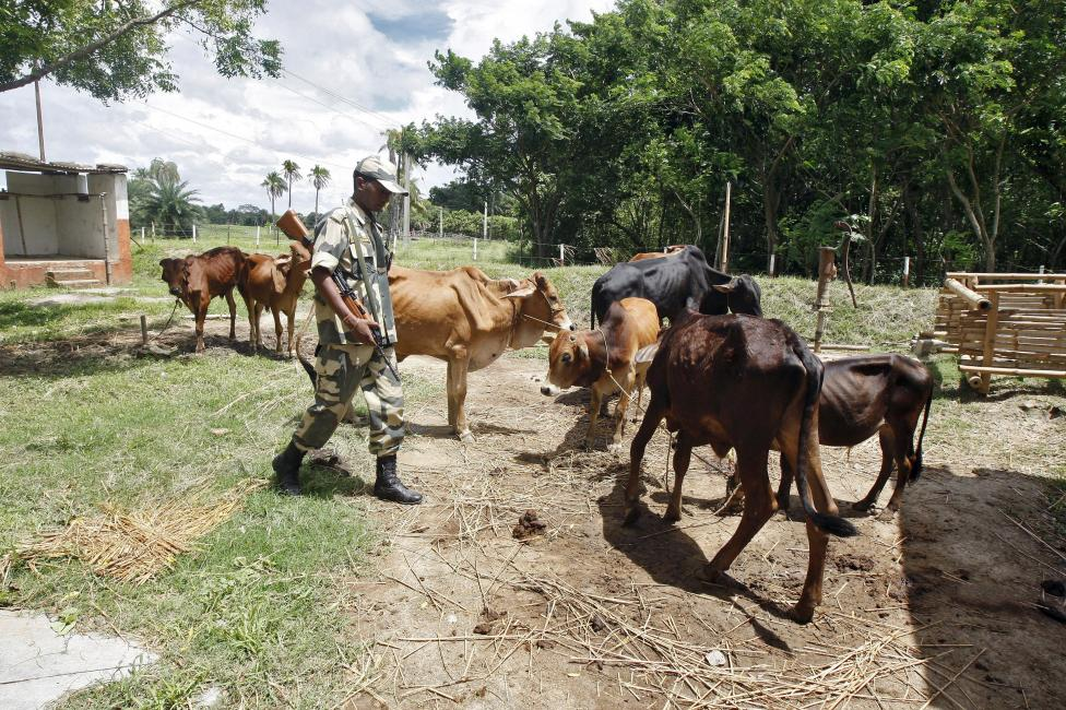An Indian Border Security Force (BSF) soldier guards captured cattle from the unfenced India-Bangladesh border in West Bengal, June 20, 2015. REUTERS/Rupak De Chowdhuri