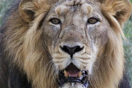 FILE - In this May 10, 2015 file photo, an Asiatic lion rests at its enclosure at the Kamala Nehru Zoological Garden in Ahmadabad, India. Gujarat forest officials say in a report that the rains killed at least 10 of the country's 523 lions, the last members of the subspecies left anywhere in the wild. AP