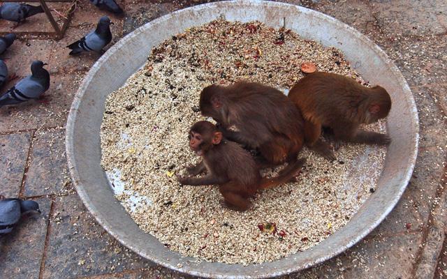 Monkeys stealing grains offered to pigeons on the premises of Swoyambhunath Stupa, in Kathmandu, on Sunday. Photo: THT