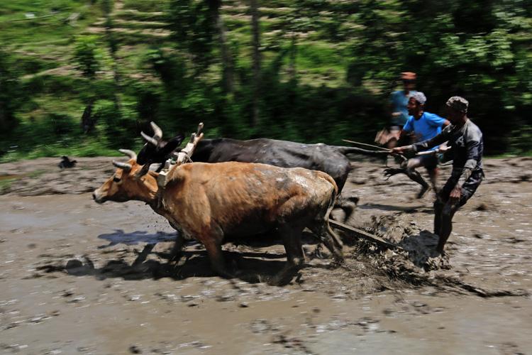 Youths ploughing a paddy field in Jitpurphedi. Photo: Skanda Gautam/ THT