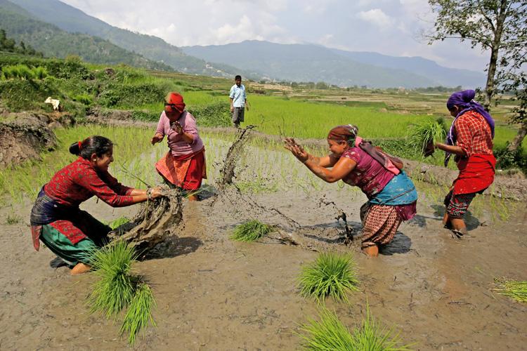 Farmers splash mud to each other in the fields at the start of monsoon in Jitpurphedi, Kathmandu on Tuesday. Photo: Skanda Gautam/THT