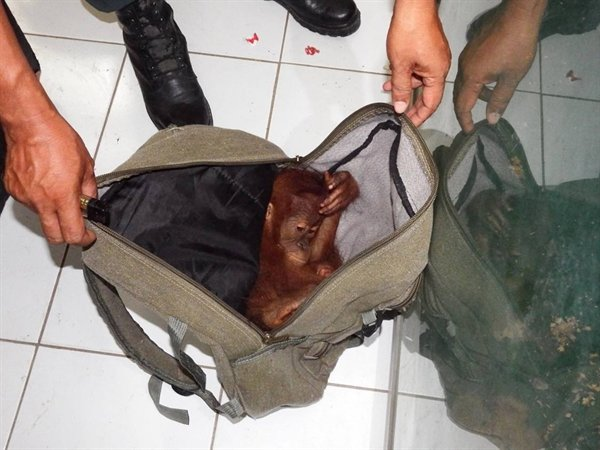 Indonesian authorities caught a prominent wildlife trafficker with this baby orangutan in his bag in February, leading to his conviction last week. The sentence has been hailed as a win for Indonesia's rich biodiversity amid what has generally been weak enforcement of wildlife crimes. Photo: Wildlife Conservation Societyn