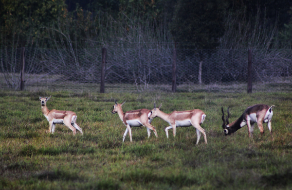 A file photo of black bucks grazing in Shuklaphanta Wildlife Reserve in Kanchanpur.nPhoto: Courtesy NTNC