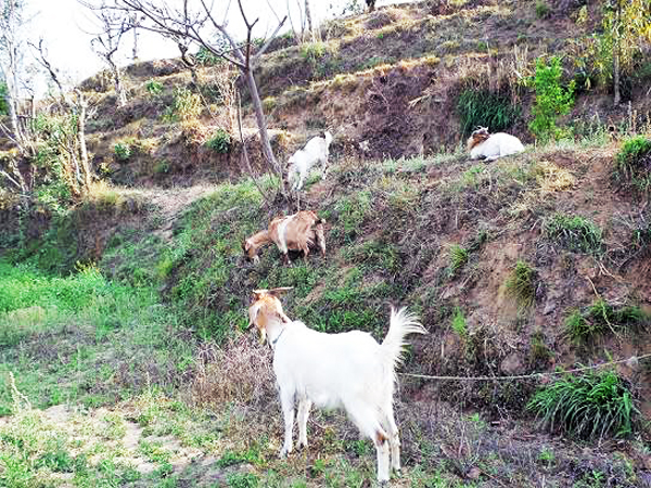 Goats grazing on a field in Amtek VDC of Bhojpur district.Farmers are fascinated towards goat farming of late. Photo: Niroj Koirala