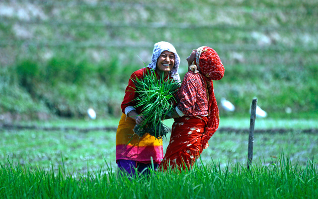 Women share a lighter moment while weeding a paddy field in Khokana, Lalitpur, on Thursday. Photo: Skanda Gautam/ THT