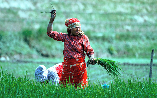 A woman weeding a paddy field, in Khokana, on the outskirts of Lalitpur, on Thursday. Photo: Skanda Gautam/ THT