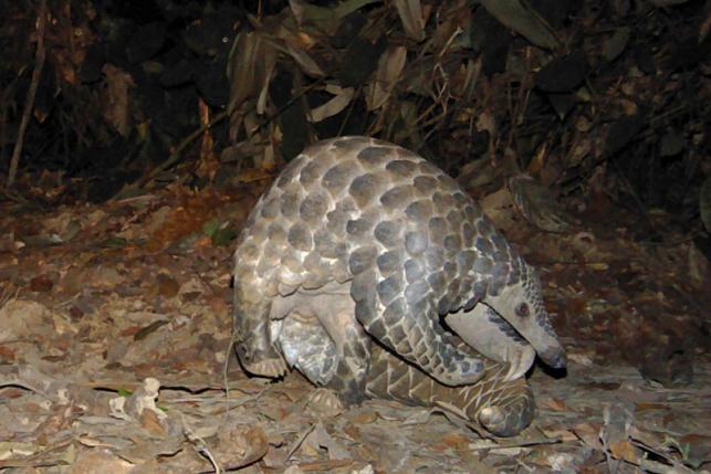 A giant pangolin walks in the woods in Lope National Park in Gabon in this picture provided by Panthera September 14, 2013.  REUTERS/Laila Bahaa-el-din/Panthera/Handout via Reuters