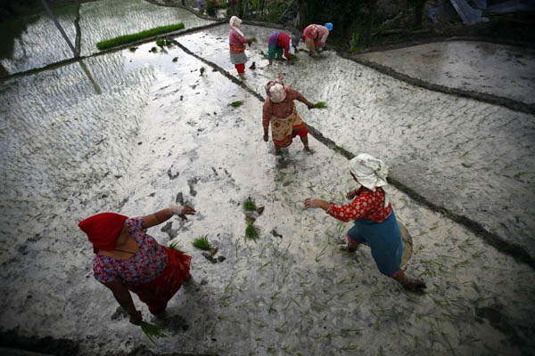 Local women planting rice in a paddy field after a spell of rain in Khokana, Lalitpur,  on Thursday. nPhoto: SKANDA GAUTAM/THT