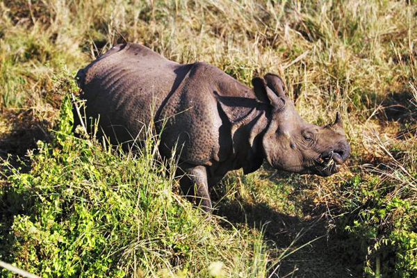 A file photo of a one-horned rhino in Chitwan National Park. Photo: Reuters