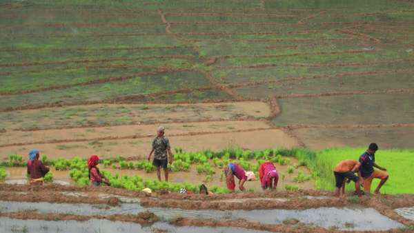 Farmers harvesting paddy saplings in Sange Pahte of Tanahun on Saturday, July 04, 2015. Photo: Madan Wagle