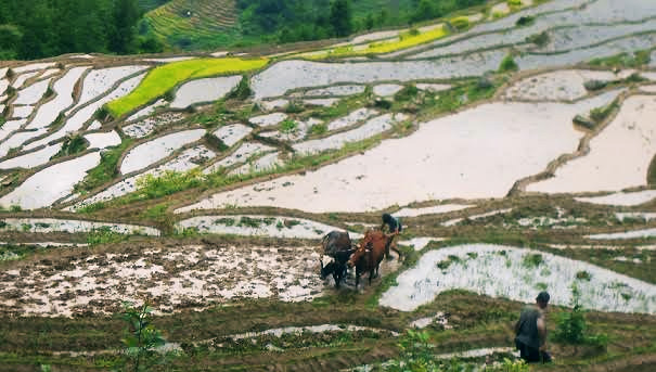 A farmer ploughing a field for paddy cultivation in Amtek VDC of Bhojpur on Saturday, July 11, 2015.Photo: Niroj Koirala
