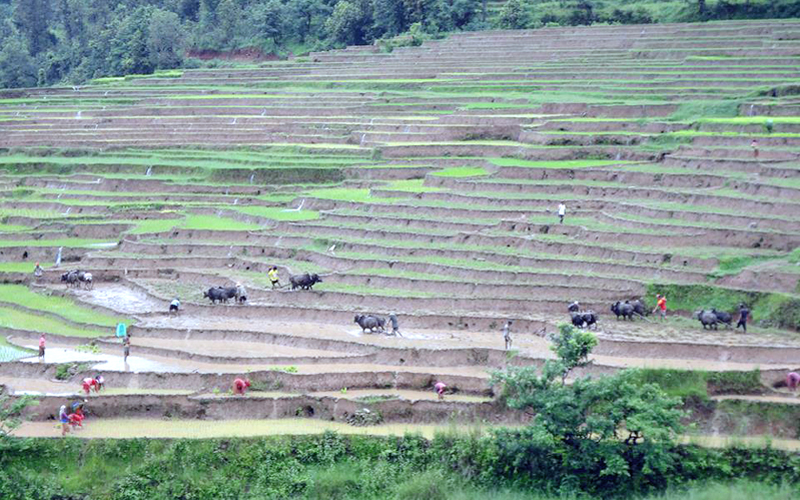 More than 40 percent paddy fields remain bare due to lack of timely rainfall in Lamjung district, on Thursday, July 23, 2015. Photo: Ramji Rana