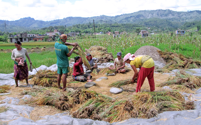 Farmers harvesting summer paddy crops at Myagde Phant of Jamune, in Tanahun, on Saturday. Farmers in the region are busy harvesting their summer paddy crops while paddy plantation in other parts of the country continues. Photo: THT