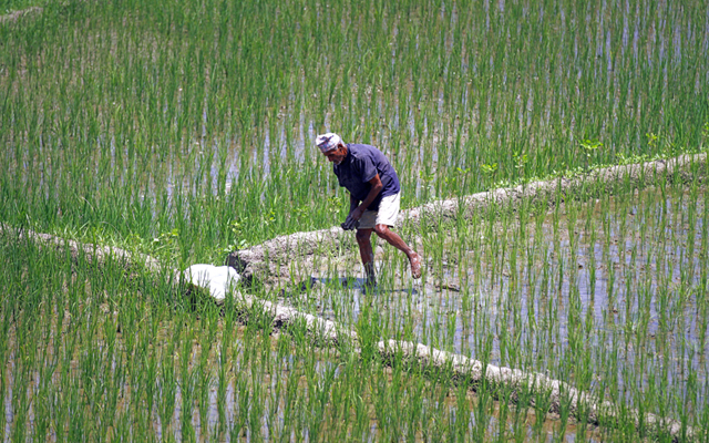 A farmer working in a paddy field in Bachamari, Bhaktapur, on Sunday. Photo: THT