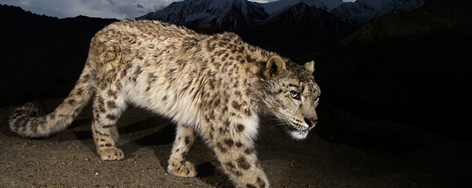 A snow leopard. Photo: WWF