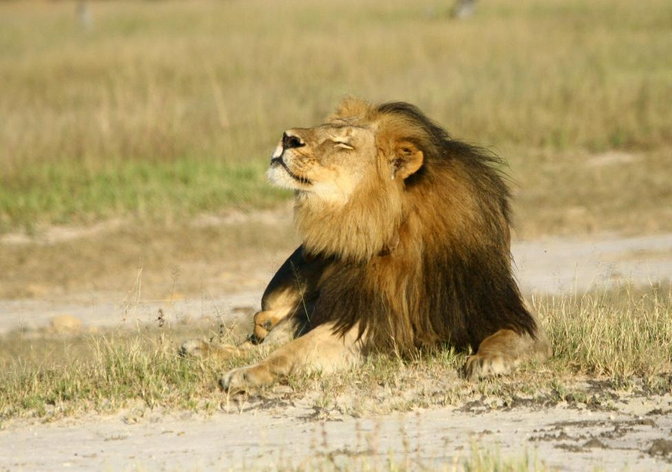 Cecil the lion is seen at Hwange National Parks in this undated handout picture received July 31, 2015. Photo: AJ Loveridge via Reuters
