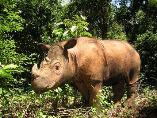 Sumatran rhino. Photo: phys.org