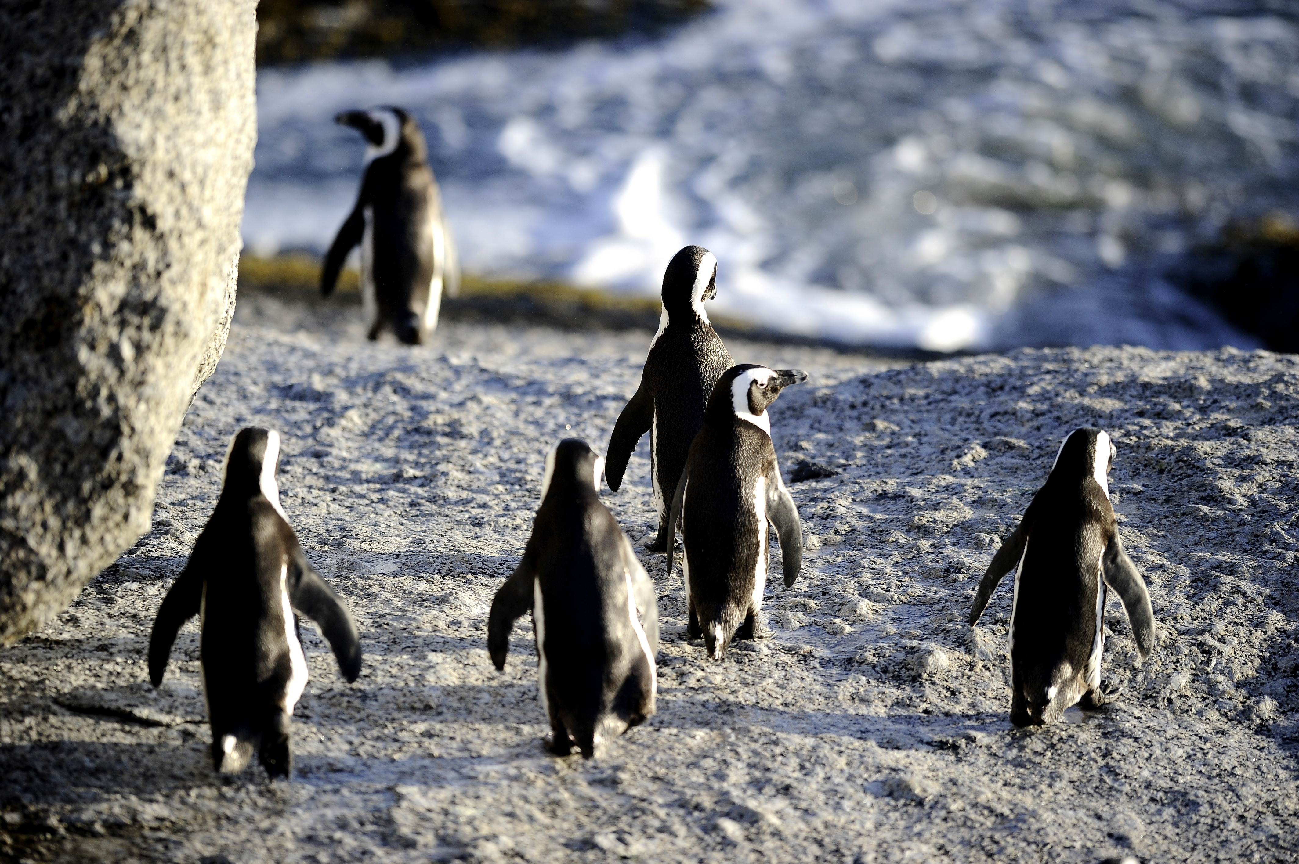 In this March 16, 2011 file photo, African penguins are pictured in Simon's Town near Cape Town, South Africa. Photo: AFP