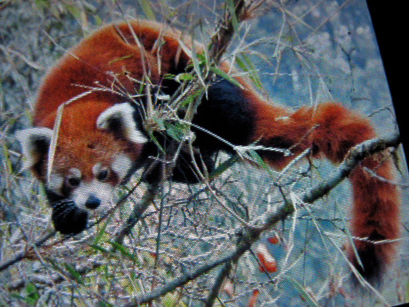 Red Panda relaxing on a tree branch, in this undated photo. Photo: Red Panda Network