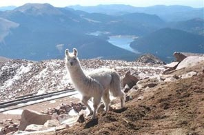 In this Sept. 20, 2009 photo provided by Southwest Llama Rescue a llama walks near the cog railway tracks near the summit of Pike's Peak near Colorado Springs, Colo. Southwest Llama Rescue is coordinating efforts to capture the llama before it falls prey to mountain lions, coyotes or the coming winter. Source: AP
