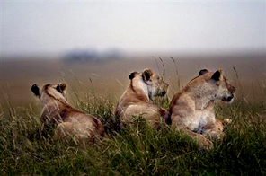 Lionesses rest in the bushes of the Masai-Mara Game reserve in Kenya Source: AFP