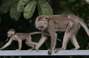 Monkeys are seen at Bukit Nanas Forest Reserve in Malaysia. Researchers in Malaysia have confirmed that a form of malaria thought to primarily affect monkeys can infect and kill humans, according to a new study. Source: AFP