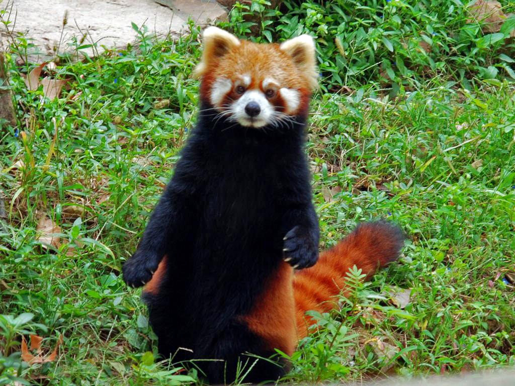 Red Panda is seen in this undated picture. Photo Courtesy: Red Panda Network