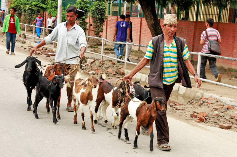 Imports of goats swelled with the Dashain festival approaching in Kathmandu on Sunday, September 22, 2015. Photo: RSS