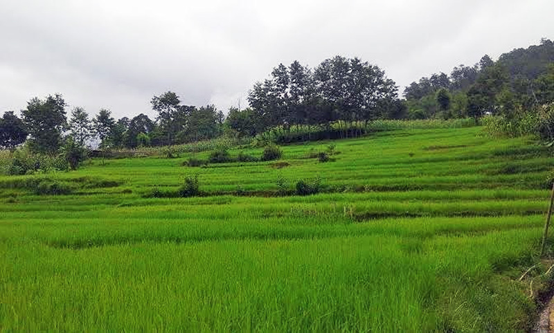 A view of paddy field at Kodar of Bhojpur Municipality in Bhojpur district, on Friday, September 11, 2015. Photo: Niroj Koirala