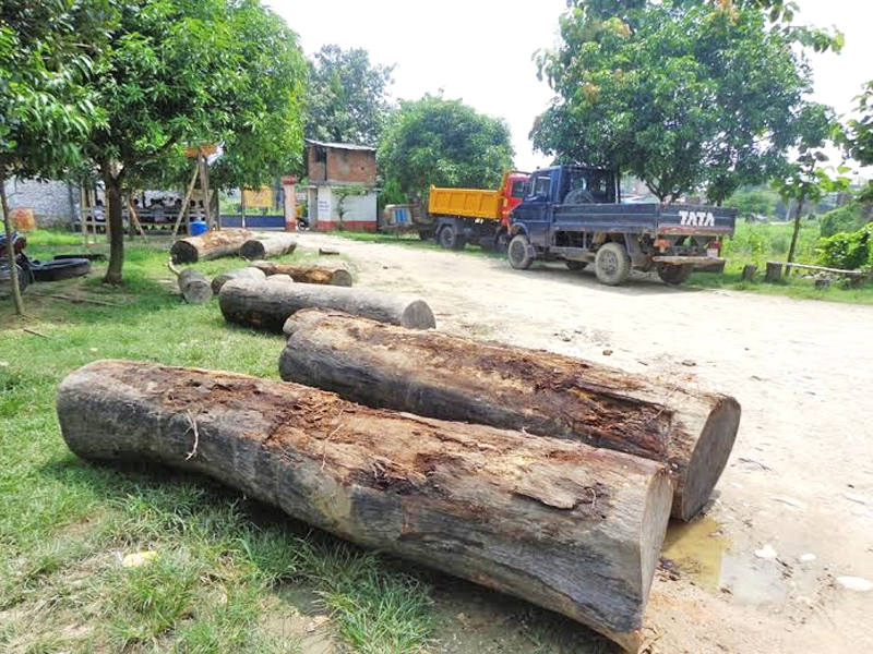 FILE - Sal trees on the premises of Area Police Office of Garuda after being confiscated from the smugglers, on Monday, September 07, 2015. Photo: Prabhat Jha