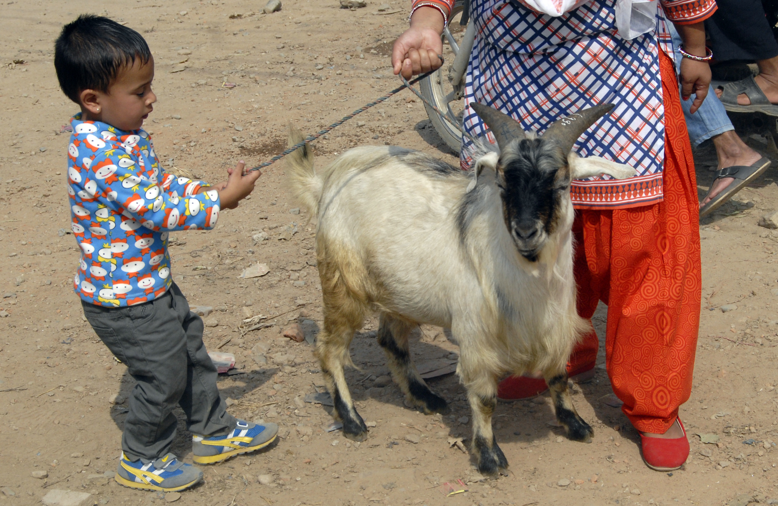 A boy pulling a rope tied to a goat purchased for Dashain in Kalanki, Kathmandu, on Saturday. Photo: THT