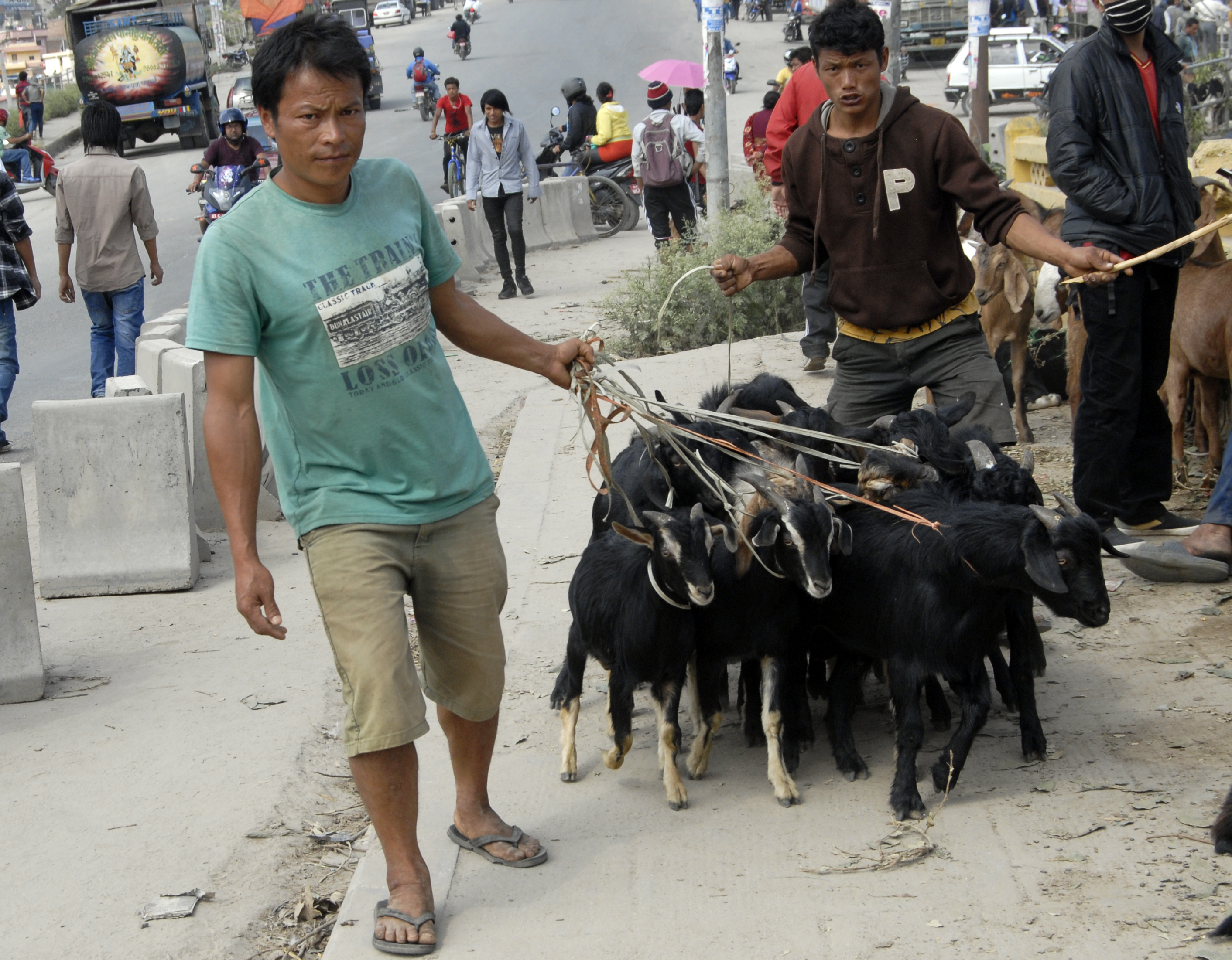 A man pulling goats tied to ropes to be sold in Dashain in Kalanki, Kathmandu, on Saturday. Photo: THT