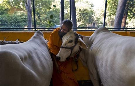 a Hindu temple priest Ram Mangal Das caresses a cow at his 'Gaushala' or shelter for cattle, in New Delhi, India. u201cWe should drink cowu2019s milk, not its blood,u201d Das said. u201cIf someone attacks mother cow, or eats it, then this sort of reaction should happen,u201d he said of the killing of a Muslim farmer who was rumored to have slaughtered cows, adding u201cIt is justified.u201d Photo:AP