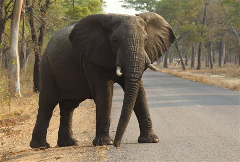 An elephant crosses a road in Hwange National Park, Zimbabwe, about 700 kilometres south west of Harare on Thursday, Oct. 1, 2015. Photo: AP