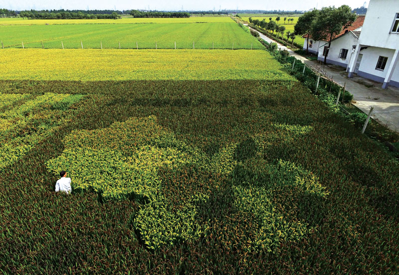 Farmer Chen Jinxiang walks through his rice paddy field planted with various types of rice forming a map of China in Fengjing, west of Shanghai, on October 19, 2015.  Photo: AFP