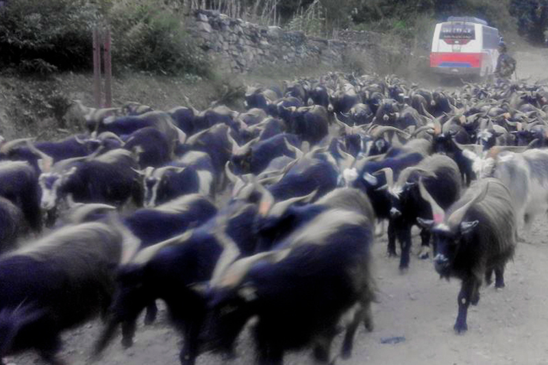 Herd of grey sheep being transported from Mustang to other parts of Nepal for the up coming Dashain festival. Photo: RSS