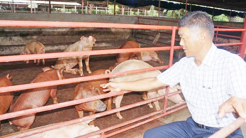 Chhyam Thapa, operator of Pokhara Livestock Private Ltd, showing pigs in his farm in Pokhara of Kaski district, on Saturday, October 31 2015. Photo: Bharat Koirala