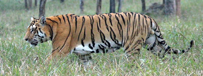 Royal Bengal tiger. Photo: DNPWC/File