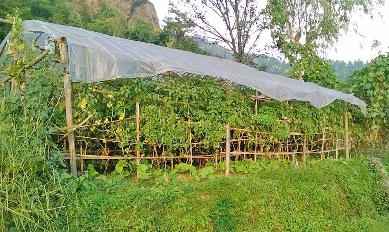 Tomato plants in a tunnel in Pakkuwa of Parbat district on Sunday, October 25, 2015. Photo: Tilak Rimal.