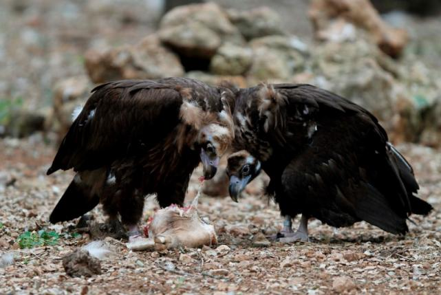A couple of black vultures (Aegypius monachus) eat carrion at a center run by the Black Vulture Conservation Foundation (BVCF) near Campanet, on the Spanish balearic island of Mallorca in this June 13, 2012, file photo. REUTERS/Enrique Calvo/Files